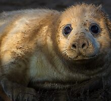 Donna Nook Grey Seal by Kevin Tappenden
