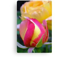 pink & yellow rose bud Canvas Print