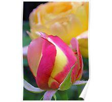 pink & yellow rose bud Poster