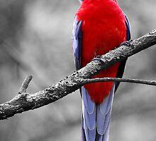 Crimson Rosella by Kim Roper