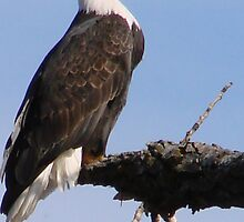 Bald Eagle by tkrosevear