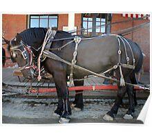 French Percheron Horses Take the Lead Poster