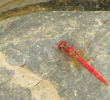 Resting Dragon Fly by CapturedByKylie