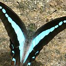 Blue Triangle Butterfly - A Closer View by Marilyn Harris