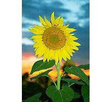 Sunflower at Sunset Photographic Print