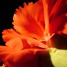 Carnation Close-Up by MichelleR