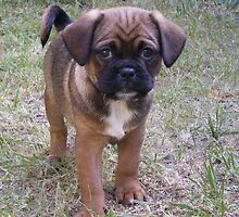 Humphrey the Pugalier by Sandie13