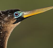 Anhinga Portrait by William C. Gladish