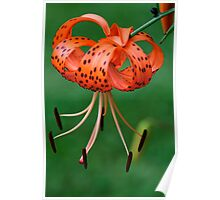 Spotted Lilly Poster