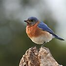 It&#x27;s a Bluebird by Gregg Williams