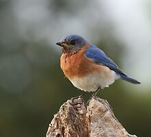 It's a Bluebird by Gregg Williams