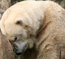 Polar Bear by ljm000