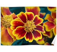 Red and Yellow Marigold Poster