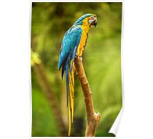Parrot in the Rainforest near Iguazu, Brazil Poster
