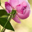 Bruised Rose by Bonnie T.  Barry