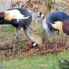 Grey Crowned Crane by ienemien