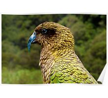 Kea at Arthur's Pass, South Island of New Zealand Poster