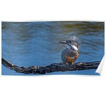 Kingfisher on Branch, Tierra Del Fuego, Argentina Poster