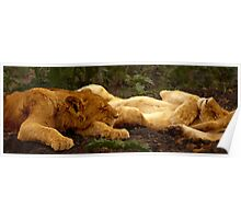 Lions Sleeping after the Kill, Serengeti, East Africa Poster