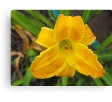 Dewy Eyed Day Lilly  Canvas Print