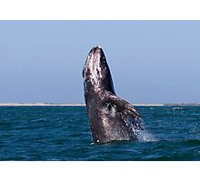 Gray Whale Breaching Photographic Print