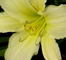 vibrant lily by 1busymom