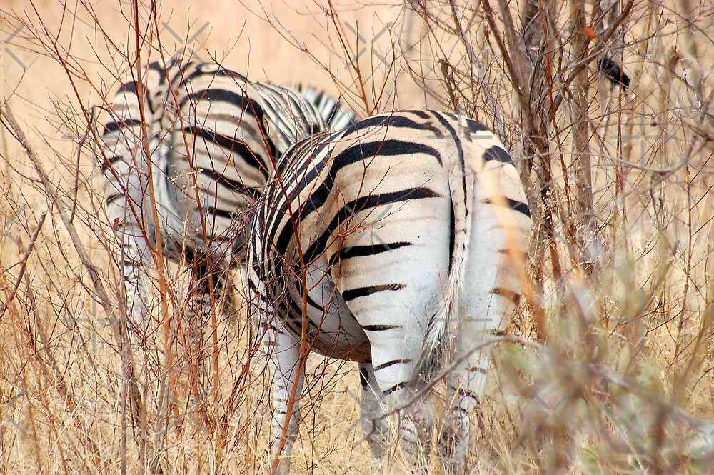 "BURCHILLS ZEBRA  ""SETS OF TWO"" by Magriet Meintjes"