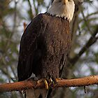 Bald Eagle by IanPharesPhoto