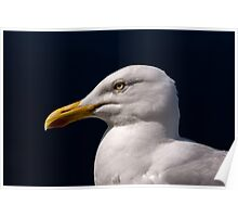 Seagull on the Ring of Dingle, Southwest Coast of Ireland Poster