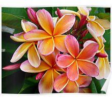 Plumeria....Penang Peach Poster