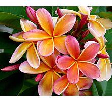 Plumeria....Penang Peach Photographic Print