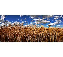 The Golden crop Photographic Print