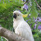Cockatoo by Coloursofnature