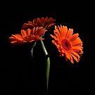 Orange Gerberas by ReidOriginals