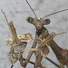 Mantis by peterstreet