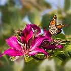 First monarch of 2015! by Celeste Mookherjee