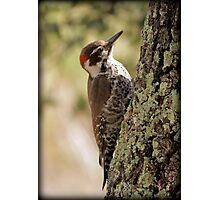 Arizona Woodpecker, Madera Canyon Photographic Print