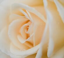 Peach Colored Rose by Marcus Taylor