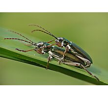 Longhorned Leaf Beetle Photographic Print