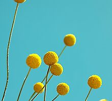 Billy Buttons by Basia McAuley