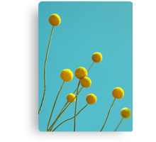 Billy Buttons Canvas Print