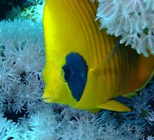 Masked Butterfly Fish by lilithlita