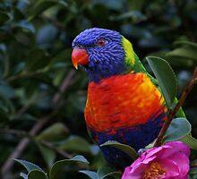Rainbow Lorikeet by Kim Roper