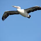 Pelican In Flight. by caz60B