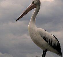 Proud Pelican by CabrioletMan