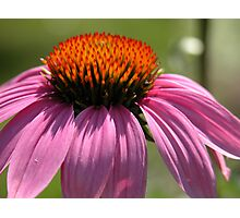 Echinacea  Purple Coneflower Photographic Print