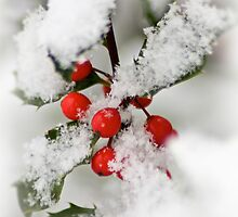 Holly Berries by WolfmanK