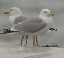 Seagulls by Franco De Luca Calce