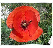 Vibrant red poppy Poster