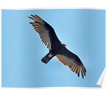 Soaring Turkey Vulture Poster